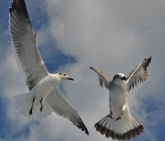 Чайки в танце